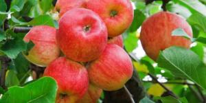 manfaat buah apell